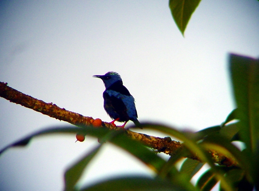 Red-legged Honeycreeper, Chiquibul National Forest, Belize. Photo by Marcus C. England.