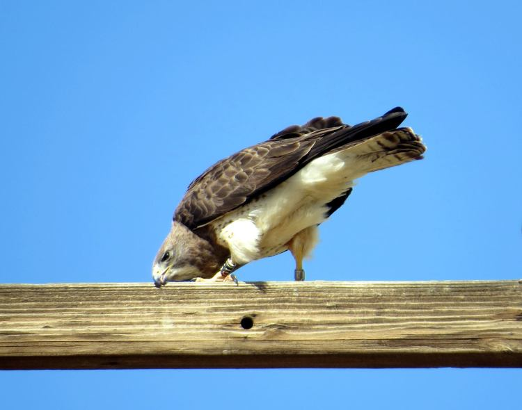 Swainson's Hawk, Antelope Valley. Photo by Marcus C. England.