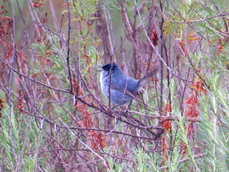 A male California Gnatcatcher, a threatened species, photographed by the author on a project site in San Diego County in February 2015.