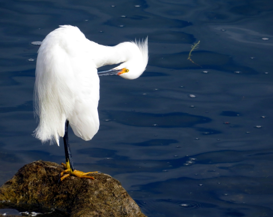 Snowy Egret preening along Ballona Creek. Photo by Marcus C. England.