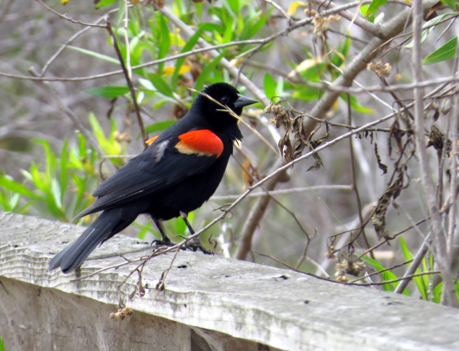 Male Red-winged Blackbird at Ballona Freshwater Marsh. Photo by Marcus C. England.
