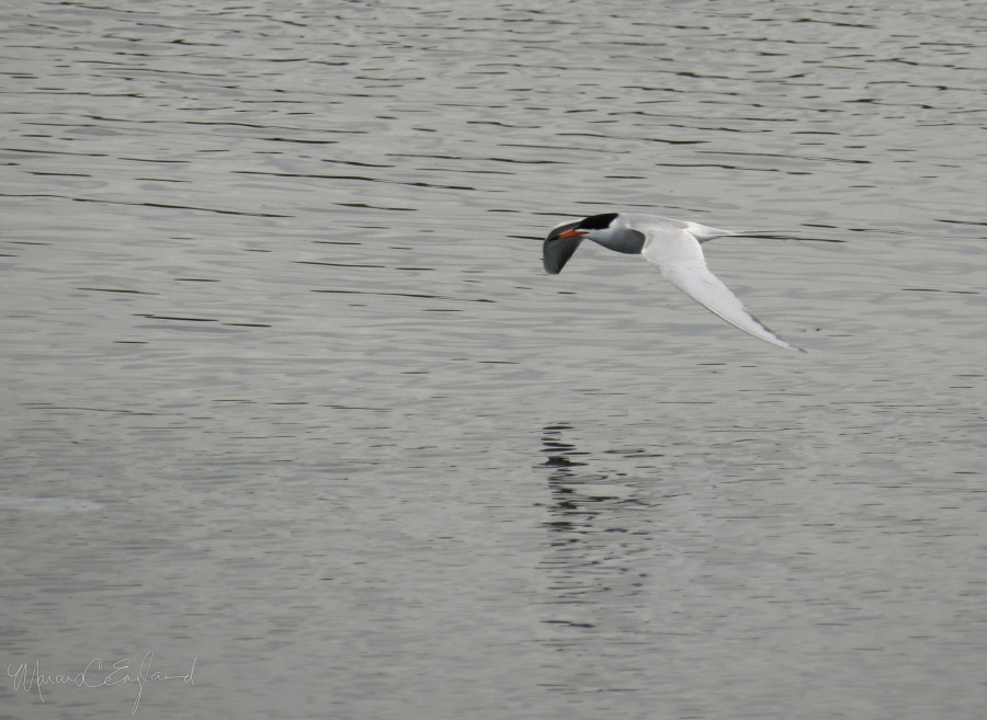 Forster's Tern in flight. Photo by Marcus C. England.