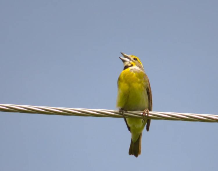 Male Dickcissel singing on a power line at Killdeer Plains Wildlife Area, Ohio. Photo by Marcus C. England.
