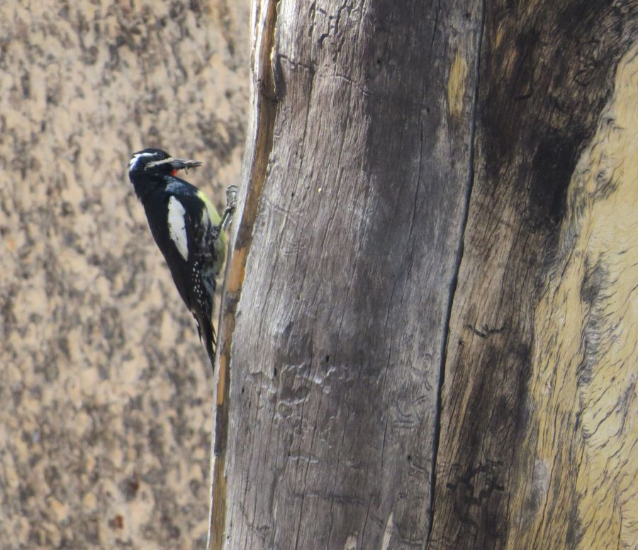 Male Williamson's Sapsucker on Mt. Baden-Powell. Photo by Marcus C. England.