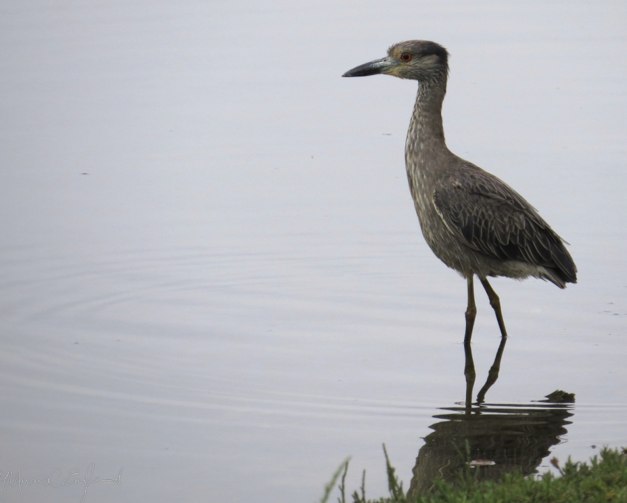 Yellow-crowned Night-Heron at Del Rey Lagoon. Photo by Marcus C. England.