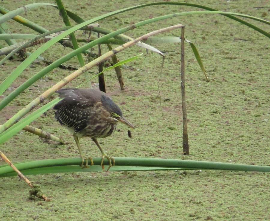 An immature Green Heron hunting at the Ballona Freshwater Marsh. Photo by Marcus C. England.