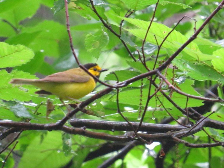 Male Hooded Warbler at Clear Creek Metro Park. Photo by Marcus C. England.