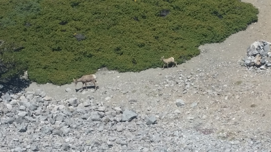 Bighorns on Baldy. Photo by Marcus C. England.