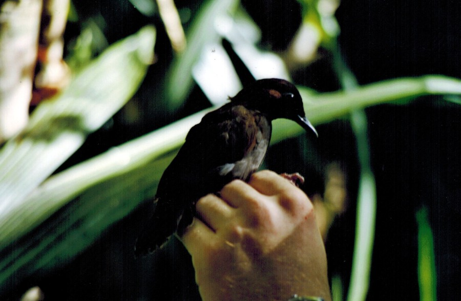 A Black-faced Antthrush (Formicarius analis) netted by the author as part of the Landbird Monitoring Programme at Lamanai, Belize.