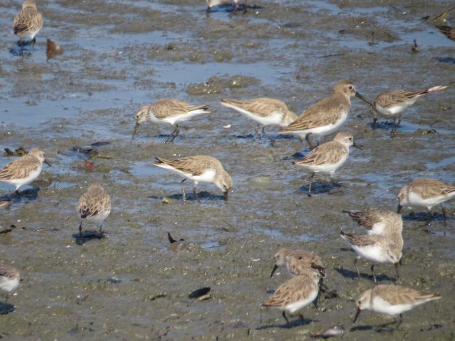 Mixed shorebird flock, coastal Los Angeles County. Photo by Marcus C. England.