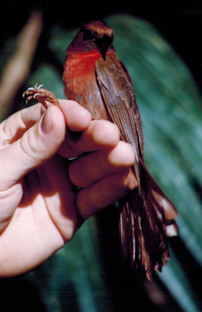 A male Red-throated Ant-Tanager (Habia fuscicauda) netted by the author as part of the Landbird Monitoring Programme at Lamanai, Belize. While not a member of the antbird family, ant-tanagers are ant following species.