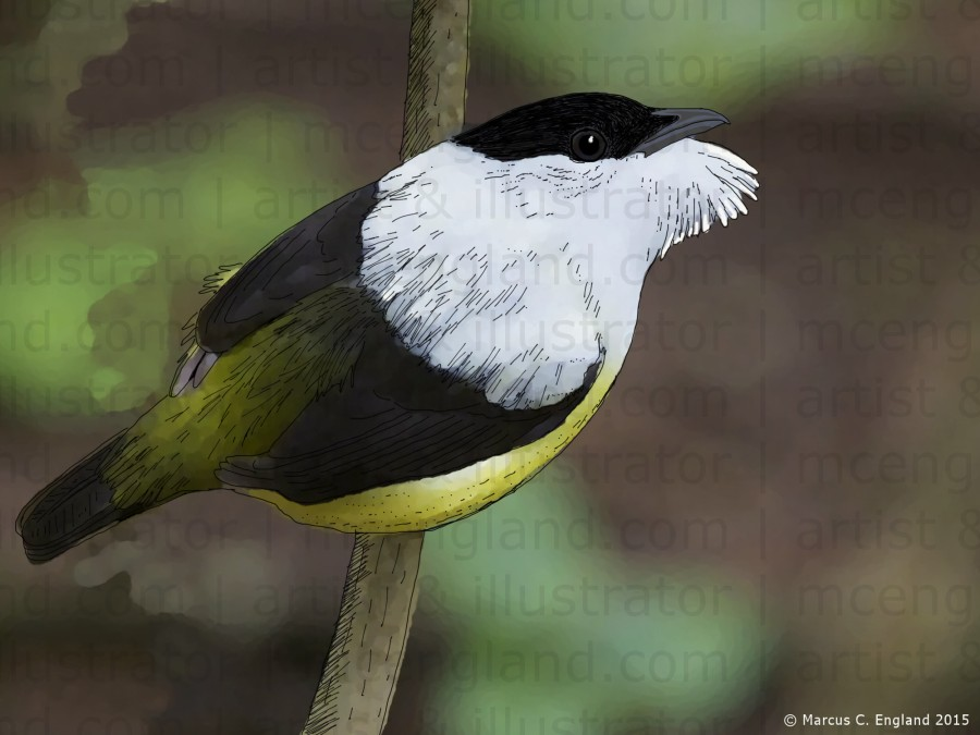 Male White-collared Manakin. Digital mixed media artwork by Marcus C. England.