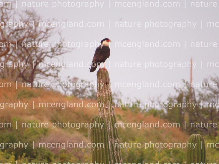 A Crested Caracara on a saguaro cactus. Photo by Marcus C. England.