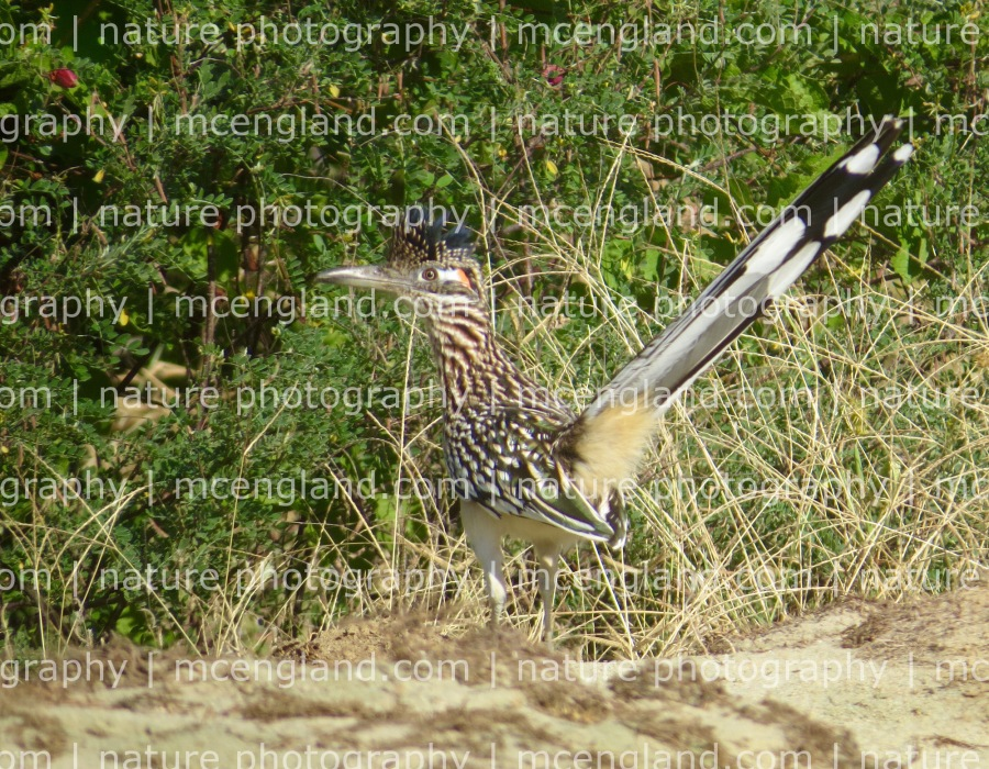 Greater Roadrunner. This bird was photographed within 100 feet of our villa. Photo by Marcus C. England.