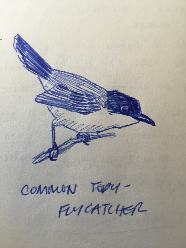Common Tody-Flycatcher. Sketch from my journal.