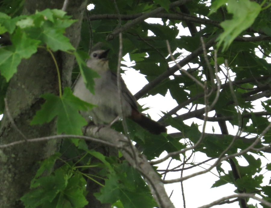 A bad photograph of a Gray Catbird at Killdeer Plains Wildlife Area, Ohio, June 2015. Photo by Marcus C. England.
