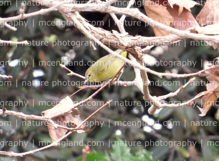 Orange-crowned Warbler at Monte Verde Park, January 11, 2016. Photo by Marcus C. England.