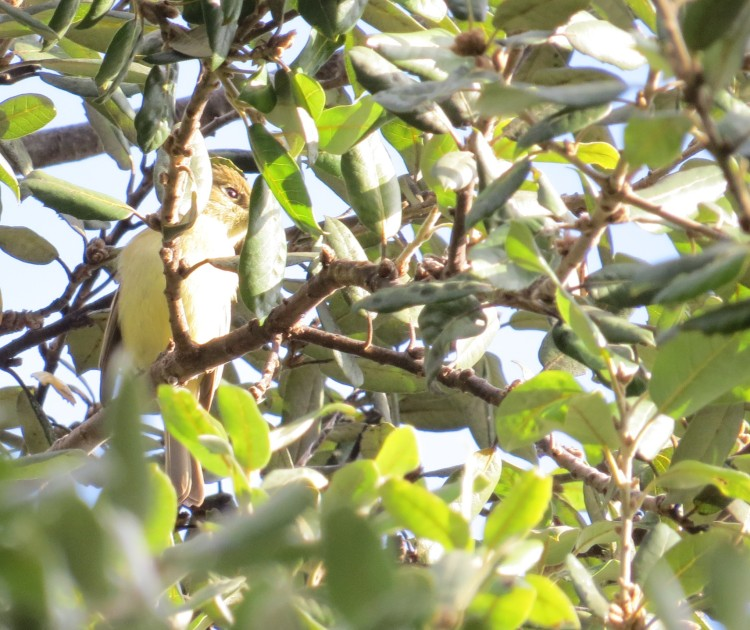 Pacific-slope Flycatcher at Monte Verde Park, January 11, 2016. Photo by Marcus C. England.