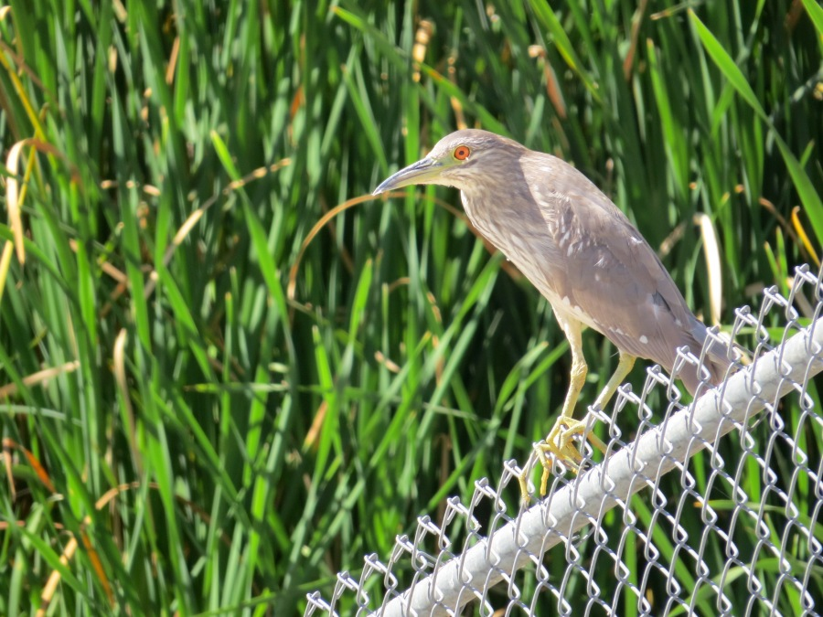 Black-crowned_Night-Heron_3036