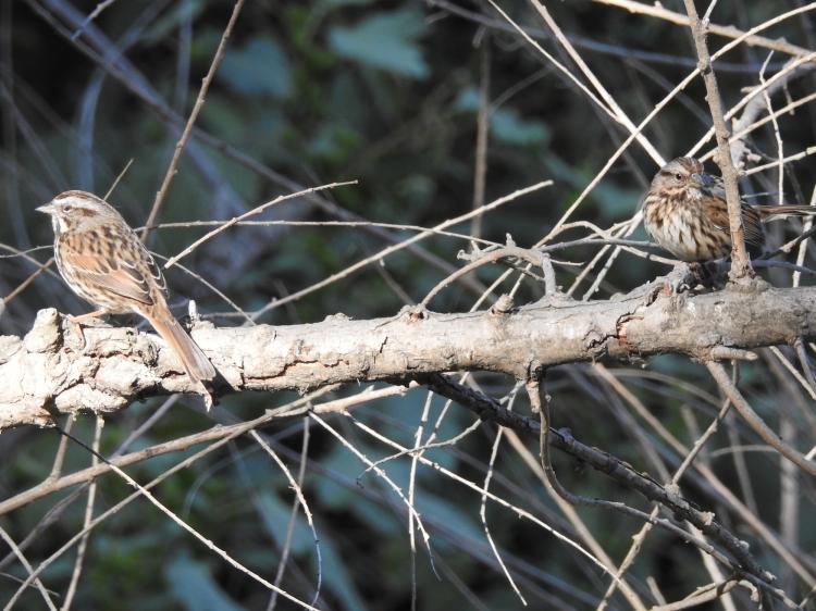 dscn0726_song_sparrow