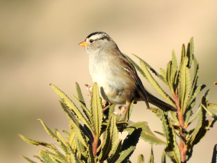 dscn0777_white-crowned_sparrow