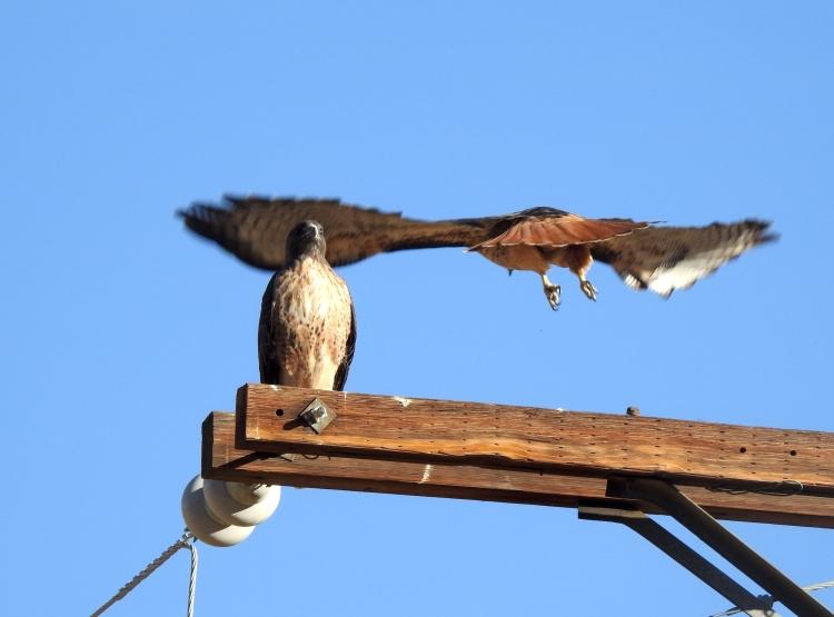 dscn0784_red-tailed_hawk