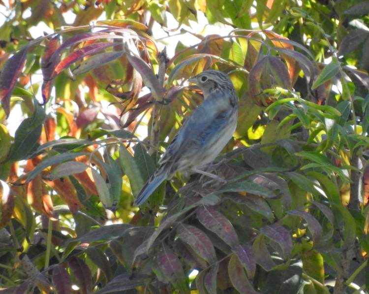 dscn0946_grasshopper_sparrow