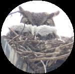 nesting_birds