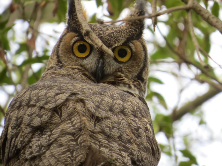 Great_Horned_Owl_2937