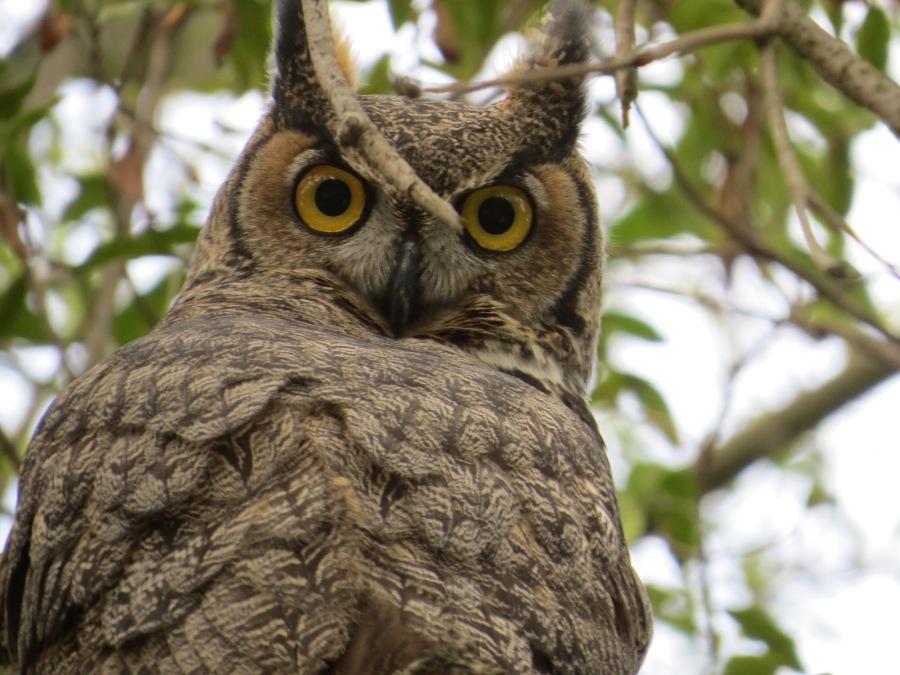 Great_Horned_Owl_2937