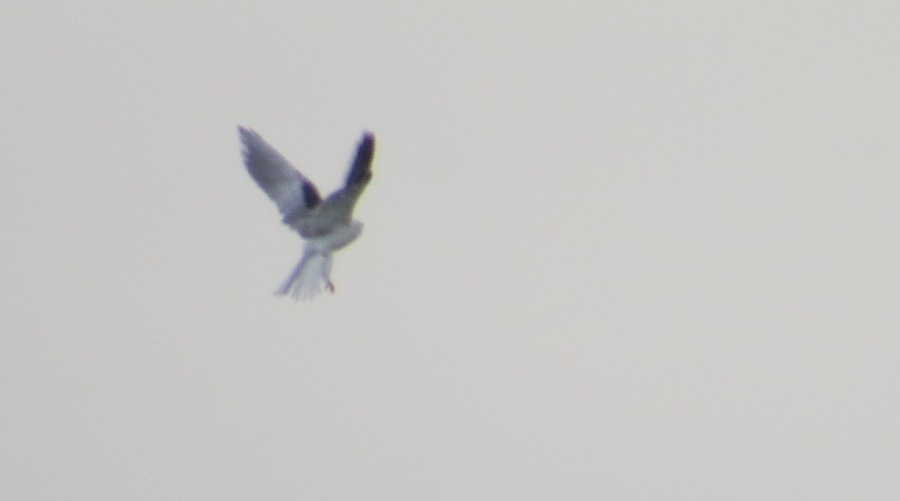 White-tailed_Kite_4988
