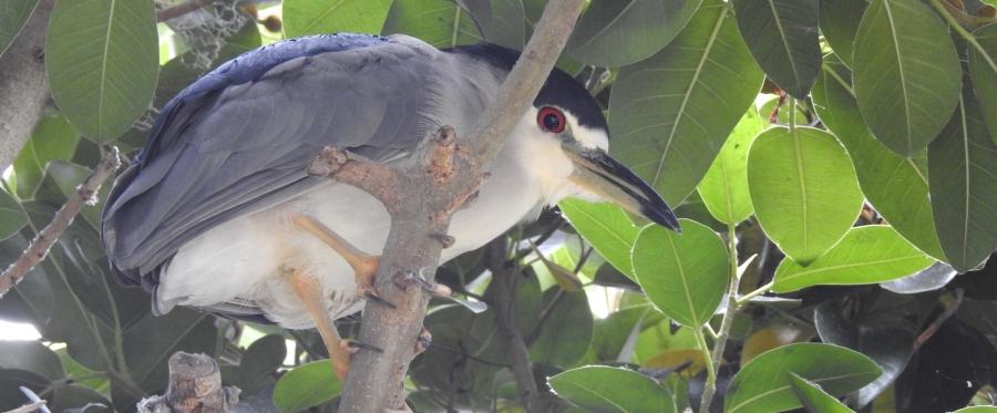 DSCN5353_Black-crowned_Night-Heron