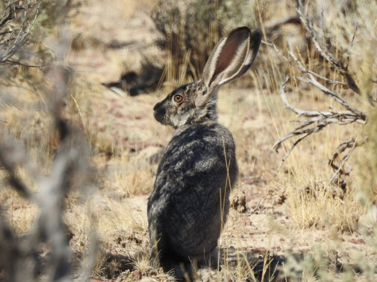 DSCN5427_Black-tailed_Jackrabbit